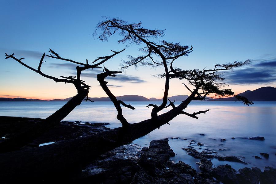 Shoreline tree leaning out over water at sunset, Washington Park, Fidalgo Island, Skagit County, Washington, USA
