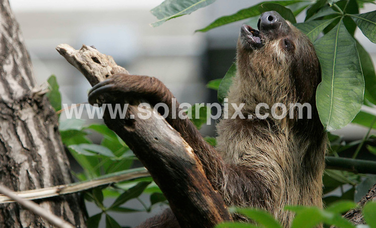 **ALL ROUND PICTURES FROM SOLARPIX.COM**.**NO UK NEWSPAPER PUBLICATION **UK MAGAZINE PUBLICATION ONLY** AND NO PUBLICATION IN FRANCE, SCANDINAVIA, AUSTRALIA AND GERMANY** .London Zoo opens the Clore Rainforest Outlook -.The £2.1m redevelopment of the former Clore Duffield Small Mammals House has become home to groups of tiny monkeys, sloths and birds, and visitors can come face to face with their favourite animal inside the enclosure..Picture shows:A two-toed sloth bear yawning in his new enclosure...JOB REF: 3996        SFE       DATE: 24.5.07.**MUST CREDIT SOLARPIX.COM OR DOUBLE FEE WILL BE CHARGED* *UNDER NO CIRCUMSTANCES IS THIS IMAGE TO BE REPRODUCED FOR ANY ONLINE EDITION WITHOUT PRIOR PERMISSION*