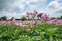 Maris Peer potatoes flowering - Norfolk, June