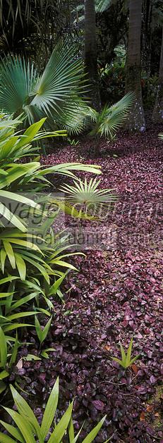 """France/DOM/Martinique/Balata/Les jardins: Palmeraie - Détail d'un massif de """"Begonia Nitida"""""""
