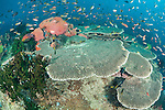 Triton Bay, West Papua, Indonesia; an aggregation of Anthias, Demoiselle and Chromis fish swimming above large plate corals, black sun corals and Tubastraea sp. soft corals on top of a coral bommie