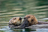 Sea Otter (Enhydra lutris) mother sharing food with pup.