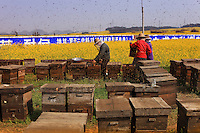 Luoping, Yunnan. Hundreds of beekeepers arrived in mid-February to produce honey on the immense stretches of rape fields in the region of Luoping.