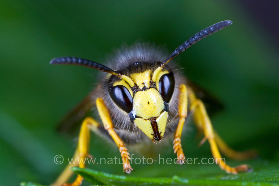 Waldwespe, Wald-Wespe, Portrait, Wespe, Dolichovespula sylvestris, Tree wasp