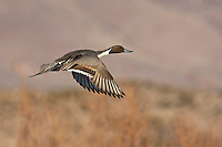 Northern Pintail (Anas acuta) adult flying, Bosque del Apache National Wildlife Refuge , New Mexico, USA