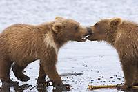 Corona and BooBoo, Lady Hook's spring cubs. Kodiak grizzly bear (Ursus arctos middendorffi), Hallo Bay
