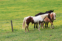 Stock photo of a group of beautiful horses roaming around a fence on a prairie in cades cove valley, the great smoky mountains national park, America.