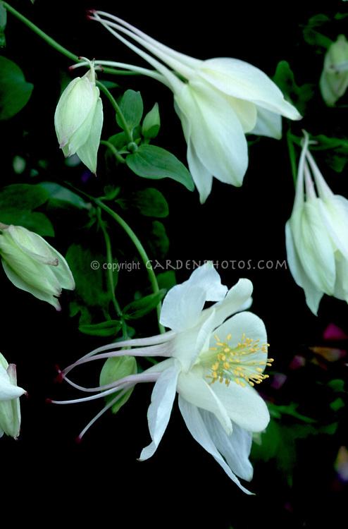 Aquilegia 'Alaska' (State Series) white columbine aka Swan White