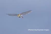 06361-00802 Common Green Darner (Anax junius) in flight Marion Co. IL