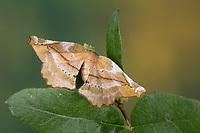 Fliederspanner, Flieder-Spanner, Apeira syringaria, Hygrochroa syringaria, Pericallia syringaria, lilac beauty, l'Ennomos du lilas, Spanner, Geometridae, looper, loopers, geometer moths, geometer moth