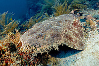 Sometimes a rare sighting, this tasselled wobbegong shark, Eucrossorhinus dasypogon, seems calmly nestled in a patch of hydroids, Aglaophenia cupressina, Raja Ampat, Indonesia, Indo-Pacific Ocean (do)