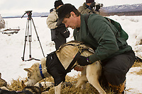 Chief Veterinarian Stu Nelson examines a dog at Ruby on Friday during Iditarod 2008