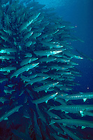 Vertical image of a large schooling group of pickhandle barracuda (spryraena jello) moving across a current swept reef point on the island of Sipidan - Borneo (Sabah) East Malaysia.