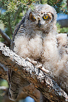 A Great Horned Owlet roosts in a pine tree in Bozeman, Montana.