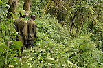 Two Uganda Wildlife Authority gorilla tracking rangers in the jungle of Uganda's Bwindi  Impenetrable Forest, one of Africa's rare, remaining gorilla habitats, and a UNESCO World Heritage Site.