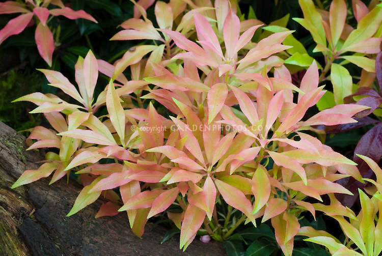 pieris forest flame agm foliage plant flower stock. Black Bedroom Furniture Sets. Home Design Ideas