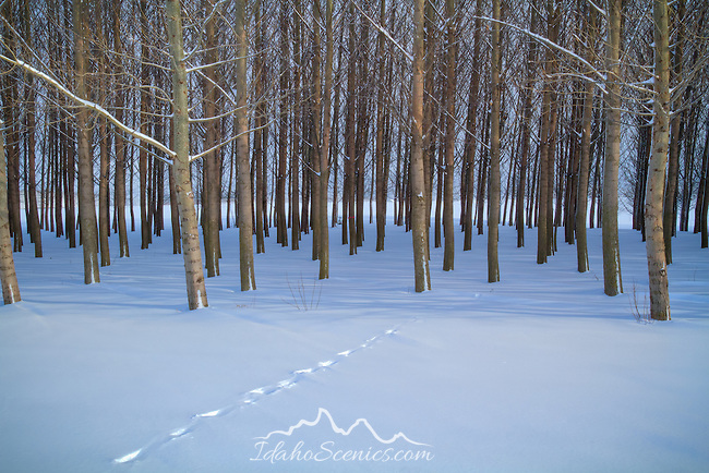 Idaho. Animal tracks in snow lead into a grove of trees in winter.