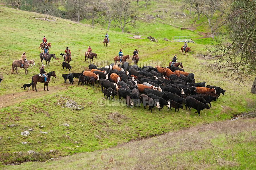 """Gathering the cattle for marking and branding with the Dell""""Orto family in the Sierra Nevada Foothills of California...**usage by any anti-livestock individual, group, publication, websites, e-mail or anything similar is prohibited."""