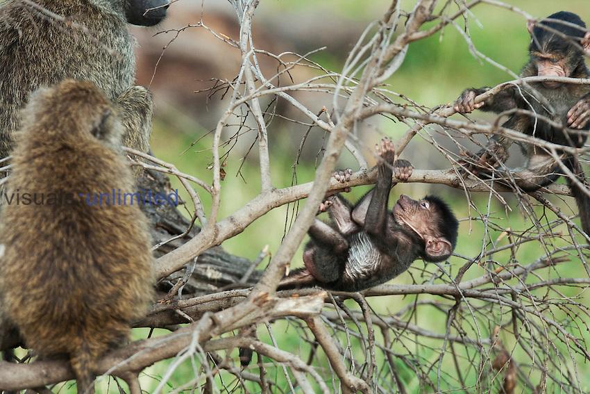 Olive Baboon infants playing in a tree (Papio cynocephalus anubis), Maasai Mara National Reserve, Kenya.
