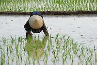 LAOS Vang Vieng , Reisfelder, Frauen pflanzen Reissetzlinge um / LAOS Vang Vieng, paddy fields, women replant rice plants from nursery to field