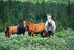 Pack horses, Tonquin Valley, Jasper National Park, Alberta, Canada