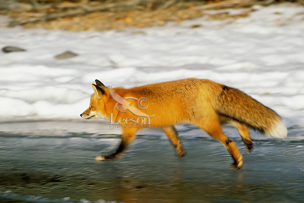 Red fox (Vulpes vulpes) trotting on lake ice.  Winter.