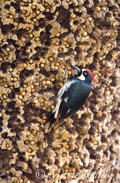 Acorn Woodpecker (Melanerpes formicivorus), male at granary tree showing many stored acorns, Orange County, California, USA