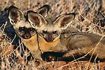 Bat-eared Foxes, Botswana