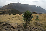 Giant Lobelia, Lobelia rhynchopetalum, Simien Mountains National Park, Ethiopia.Africa....