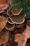 Shelf fungus (Stereum sp.) growing amid winter leaves, Eno River State Park, North Carolina