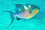 Balistes vetula, Queen triggerfish, Florida Keys