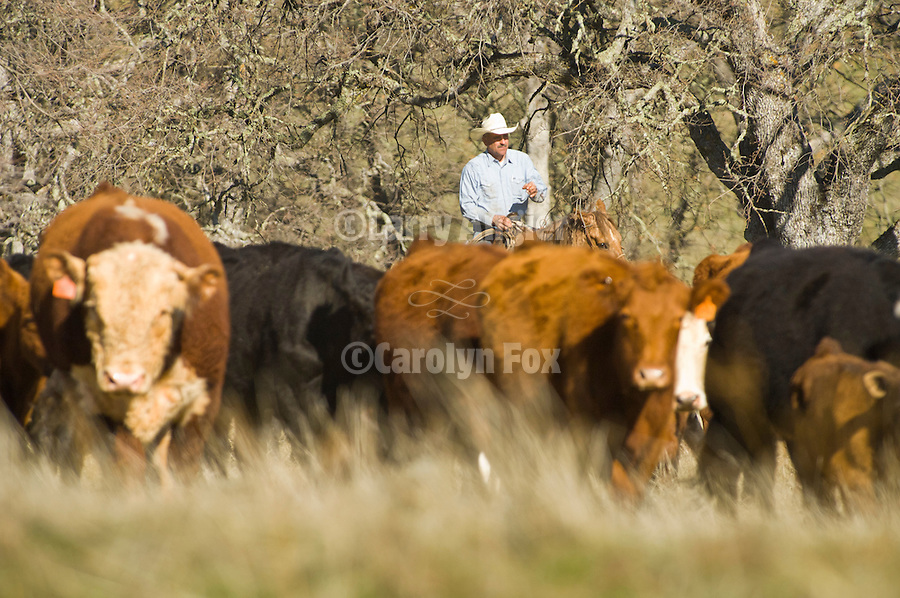 Spring cattle marking, Joses Ranch, Calaveritas, Calif.