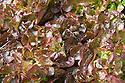 Oak-leaf lettuce 'Solix', late August.