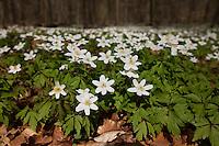 Busch-Windröschen, Buschwindröschen, Busch - Windröschen, Blütenteppich im Frühjahr in einem Buchen-Hochwald, Anemone nemorosa, Wind Flower, Wood Anemone, Frühjahrsblüher