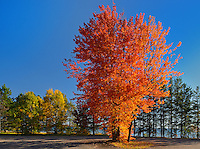 Sugar Maple tree in autumn color<br /> Batchewana Bay Provincial Park<br /> Ontario<br /> Canada