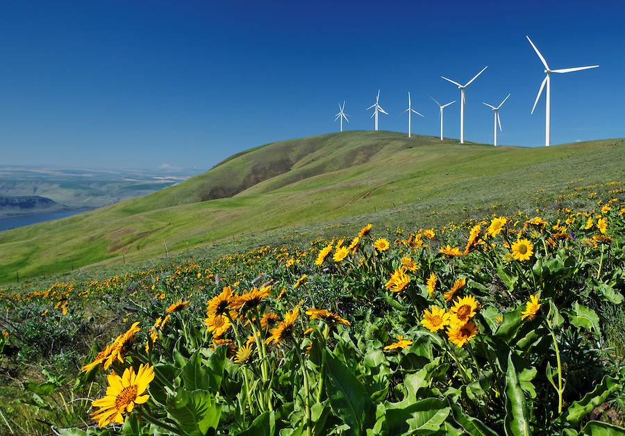 Balsamroot and wind turbines at Windy Flats wind farm, Haystack Butte, Columbia Hills, Goldendale, Klickitat County, Washington, USA