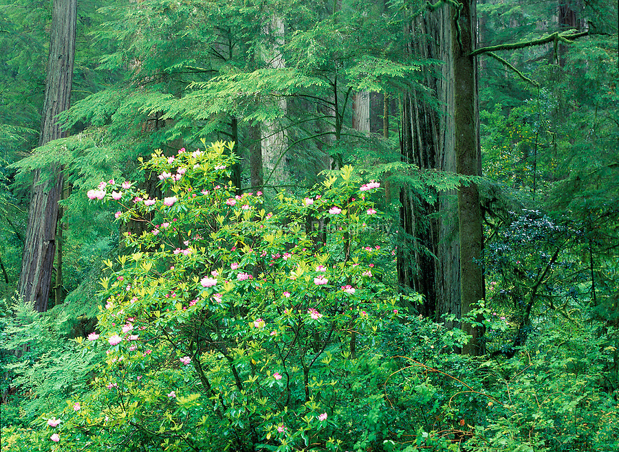 Redwood trees with a rhododendron bush in the foreground.