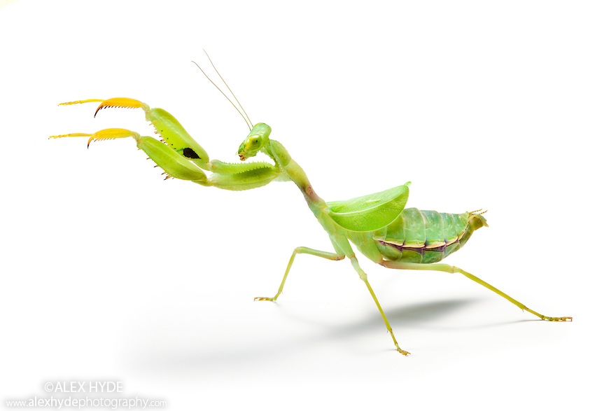 Wide-armed Mantis {Cilnia humeralis} photographed on a white background. Captive insect, originating from Africa.