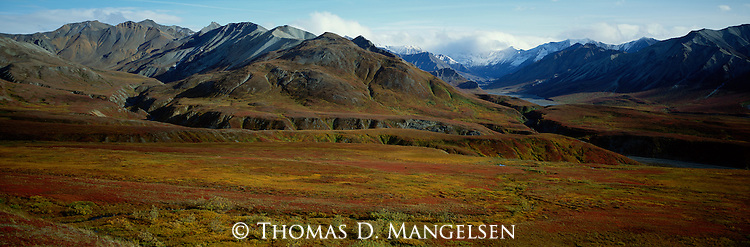Looming in the background, the Alaska Range dwarfs a grizzly bear making its way over the changing autumn tundra of Denali National Park, Alaska.