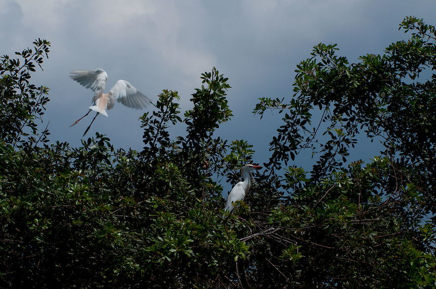 Cattle Egrets (Bubulcus ibis), Blue Cypress Lake, Vero Beach, Florida, US