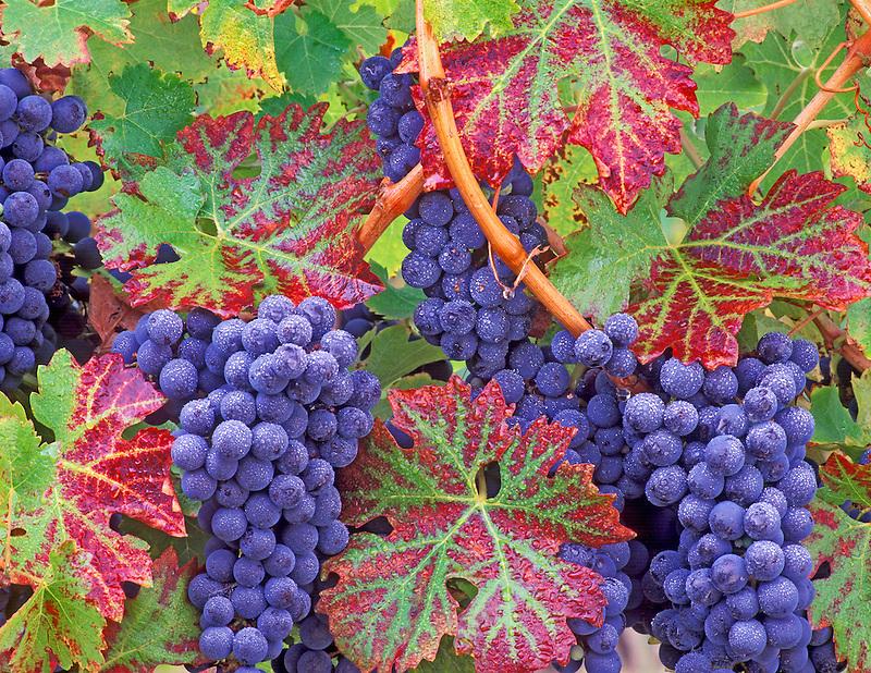 Close up of grapes with dew. Cabrenet Sauvignon. Alpine Vineyards, Oregon