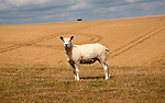 Close up of lone sheep standing on chalk downland, Marlborough Downs, Wiltshire, England, UK