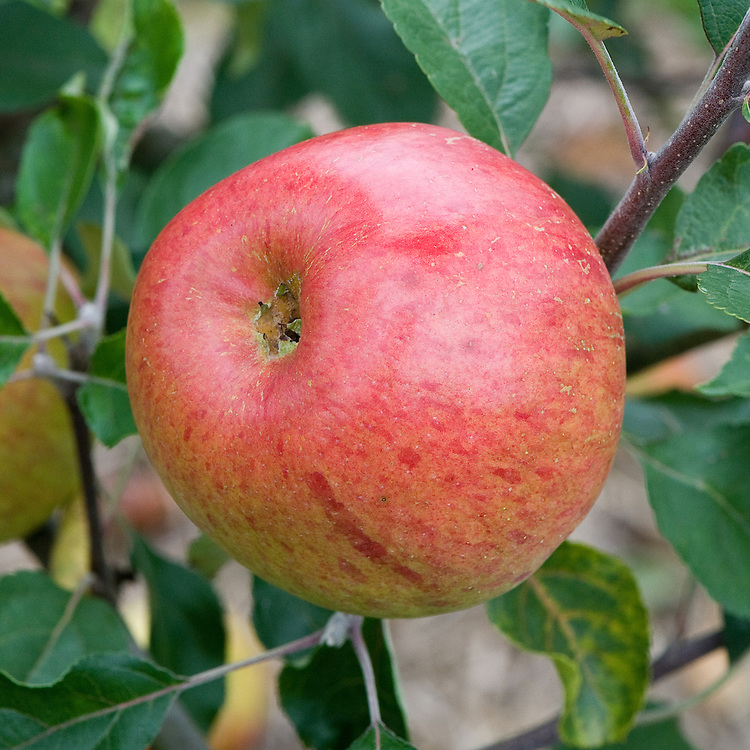Apple 'Sir John Thornycroft', mid September. An English desert apple raised by the head gardener to Sir John Thornycroft at Bembridge on the Isle of Wight. First recorded in 1911.