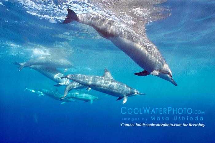 spinner dolphins, .Stenella longirostris, .Kona, Hawaii (Pacific).