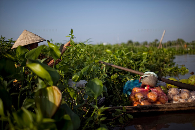 "A woman harvests a grass vegetable called ""co xuoc"" on the Hau Giang River, a tributary of the Mekong River, in Long Xuyen, the capital of An Giang Province, Vietnam. When the Mekong River reaches Vietnam it splits into two smaller riveres. The ""Tien Giang"", which means ""upper river"" and the ""Hau Giang"", which means ""lower river"". Photo taken on Monday, December 8, 2009. Kevin German / Luceo Images"