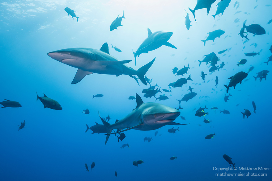 San Benedicto Island, Revillagigedos Islands, Mexico; several silky sharks swimming through a school of blackjack fish in blue water