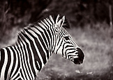 BOTSWANA, Africa, a Zebra in Chobe National Park and Game Reserve (B&W)