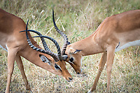 "Impala ""play fight"" during some afternoon downtime in Tarangire National Park, Africa."