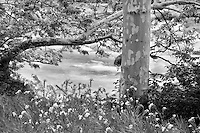 Fiddleneck flowers (Asinckia retrorsa) and California Sycamore  tree (Platanus racemosa) along banks of Kern River, California