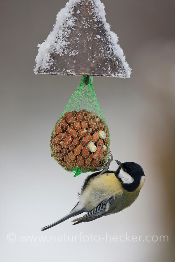 Kohlmeise, Kohl-Meise, Meise,  an der Vogelfütterung, Fütterung im Winter bei Schnee, am Nuss-Säckchen, Nusssäckchen, Nuß-Säckchen, Nussäckchen, Erdnüsse, Winterfütterung, Parus major, great tit